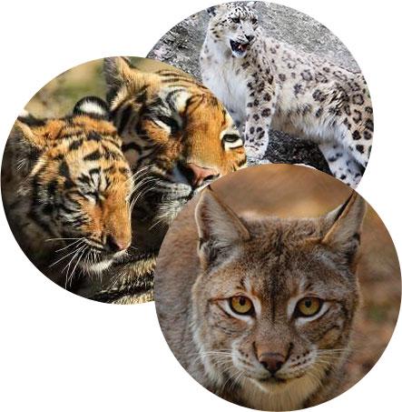 3200 tyle tygrysów żyje